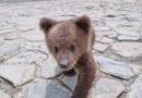 VIDEO – A fost găsit un pui de urs rătăcit în comuna Mălini